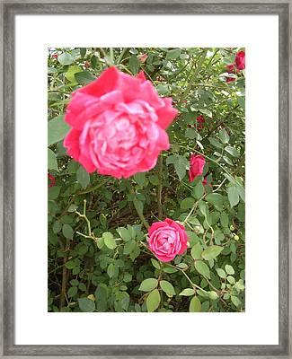 Knockout Roses Framed Print by Warren Thompson