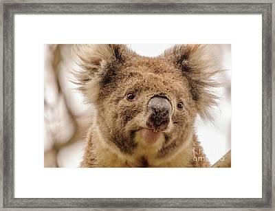 Koala 4 Framed Print by Werner Padarin