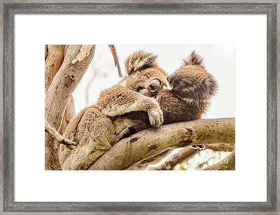 Koala 5 Framed Print by Werner Padarin