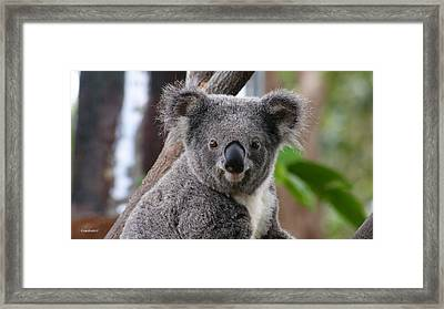 Koala Bear 7 Framed Print