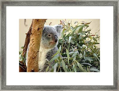 Koala Bear I Framed Print