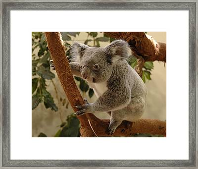 Koala Bear II Framed Print