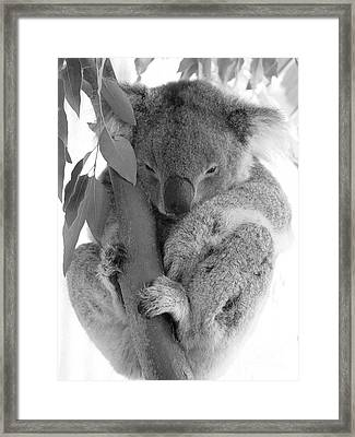 Koala Bear Framed Print by Terry Burgess