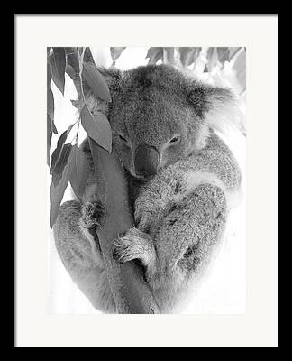 Koala Bear Framed Prints