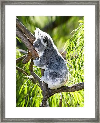 Koala Climbs Framed Print by Niel Morley