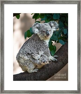 Koala Joey And Mom Framed Print
