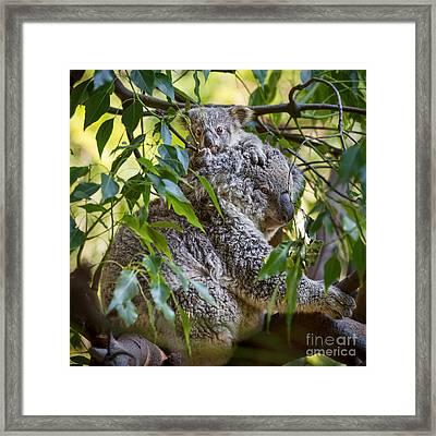 Koala Joey Framed Print