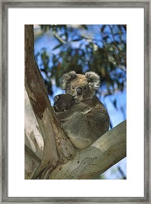Koala Phascolarctos Cinereus Mother Framed Print by Konrad Wothe