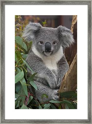 Koala Phascolarctos Cinereus Framed Print by Zssd
