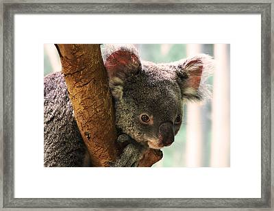 Koala Portrait Framed Print by Brian M Lumley