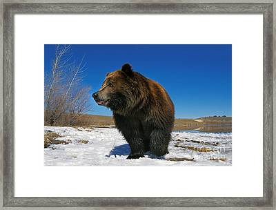 Kodiak Bear Ursus Arctos Middendorffi Framed Print