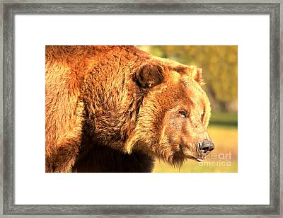 Kodiak Snout Framed Print by Adam Jewell