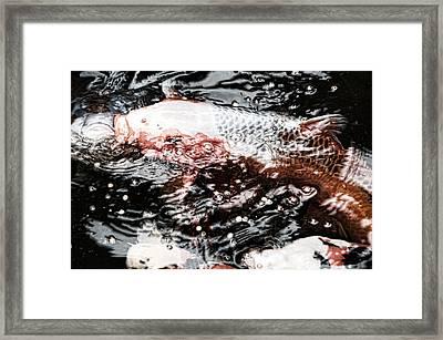Koi 1 Framed Print