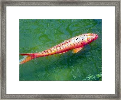 Koi Fish Framed Print by Joseph Frank Baraba