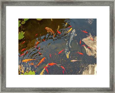 Koi Fishes In The Pond Framed Print by Art Spectrum