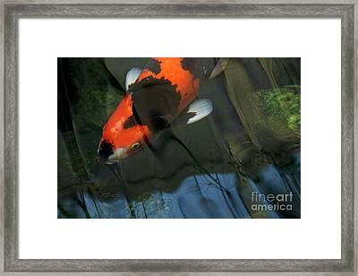 Koi Reflection Framed Print