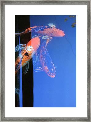 Koi Vi  Blue Framed Print