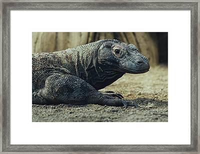 Komodo Dragon Portrait Framed Print by Pati Photography