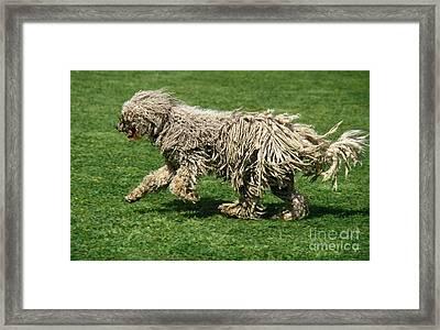 Komondor Dog, Running On Grass Framed Print by Gerard Lacz