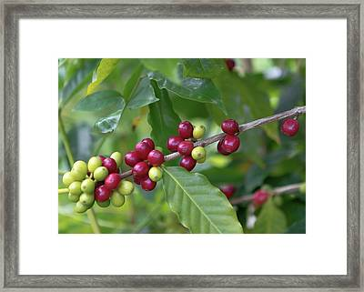 Framed Print featuring the photograph Kona Coffee Cherries by Susan Rissi Tregoning