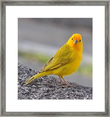 Kona Saffron Finch Framed Print by Danielle Del Prado