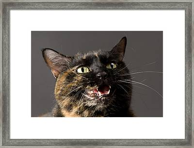 Konza The Zoo Cat Felis Catus Framed Print by Joel Sartore