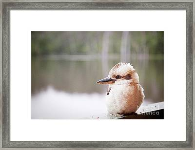 Framed Print featuring the photograph Kookaburra by Ivy Ho