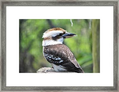 Kookaburra Framed Print by Laura DAddona