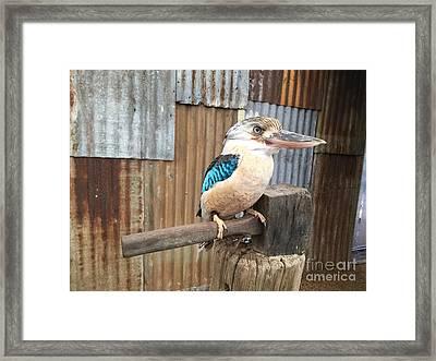 Spangled Kookaburra Framed Print