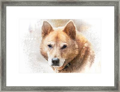 Korean Jindo Portrait Framed Print