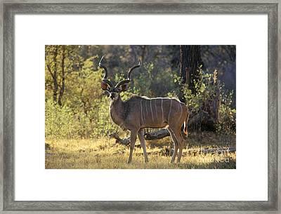 Framed Print featuring the photograph Kudu Bull - Okavango Delta Botswana by Craig Lovell
