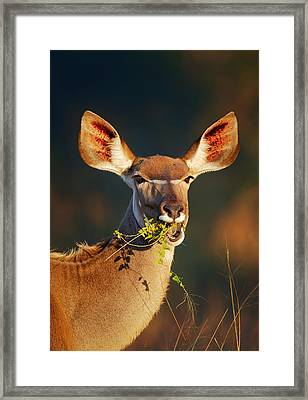 Kudu Portrait Eating Green Leaves Framed Print