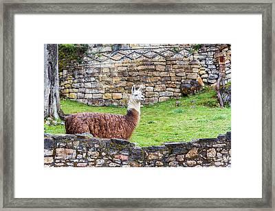 Kuelap Ruins And Llama Framed Print by Jess Kraft