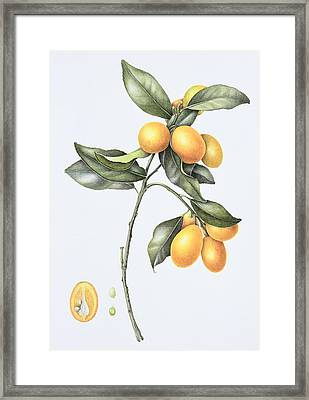 Kumquat Framed Print