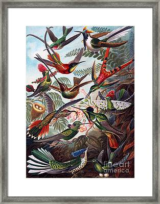 Kunstformen Der Natur Hummingbird Trochilidae Restored Framed Print by Pablo Avanzini