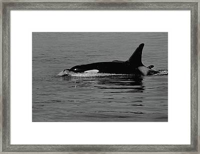 L Pod Orca Whales Black And White Framed Print