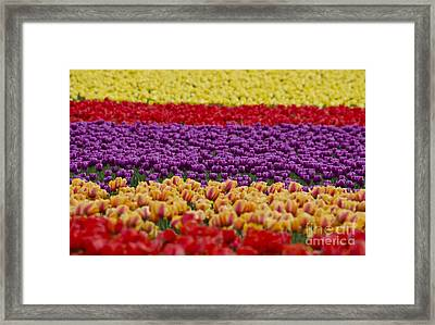 La Conner Bands Of Colour 2015 Framed Print by Maria Janicki