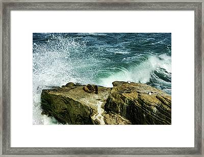La Jolla California Mini Seal Rookery Framed Print by Georgia Mizuleva