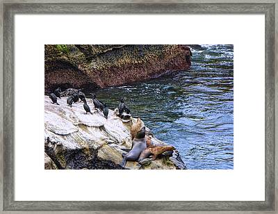 La Jolla Cove Sea Lions Framed Print