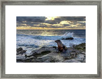 La Jolla Sea Lion Framed Print by Eddie Yerkish