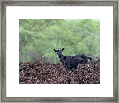 La Perouse Goats 2 Framed Print by Susan Rissi Tregoning