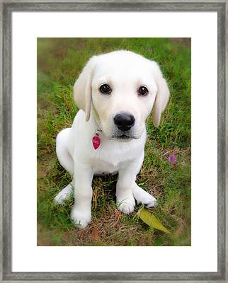 Lab Puppy Framed Print by Stephen Anderson