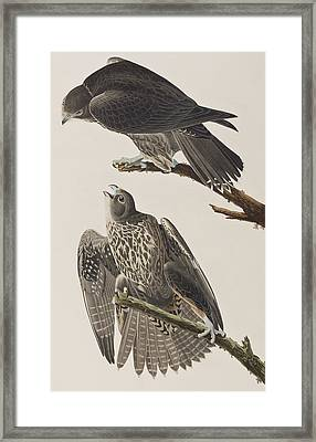 Labrador Falcon Framed Print by John James Audubon