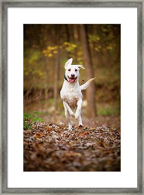 Framed Print featuring the photograph Labrador Frolics In Woodlands by Jane Melgaard