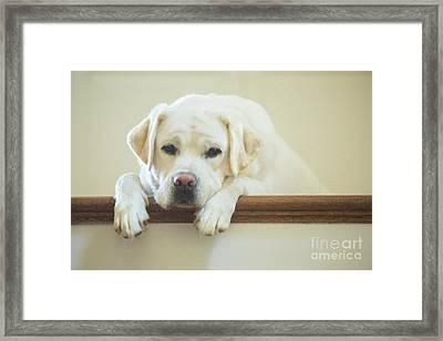 Labrador Retriever On The Stairs Framed Print