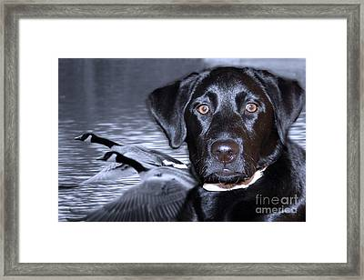 Labrador Retriever Thoughts  Framed Print by Cathy  Beharriell
