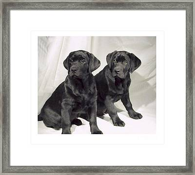Labrador Retrievers 582 Framed Print by Larry Matthews