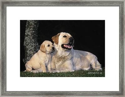 Labrador Retrievers Framed Print