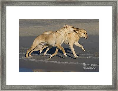 Labradors Playing Framed Print by Jean-Louis Klein & Marie-Luce Hubert