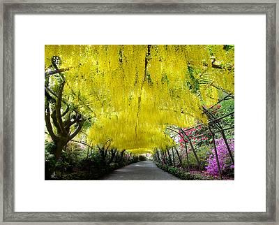 Laburnum Arch, Bodnant Garden Framed Print